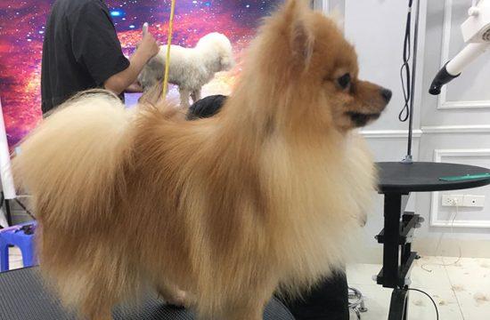 Công ty mua bán chó phốc sóc tại Hà Nội tốt