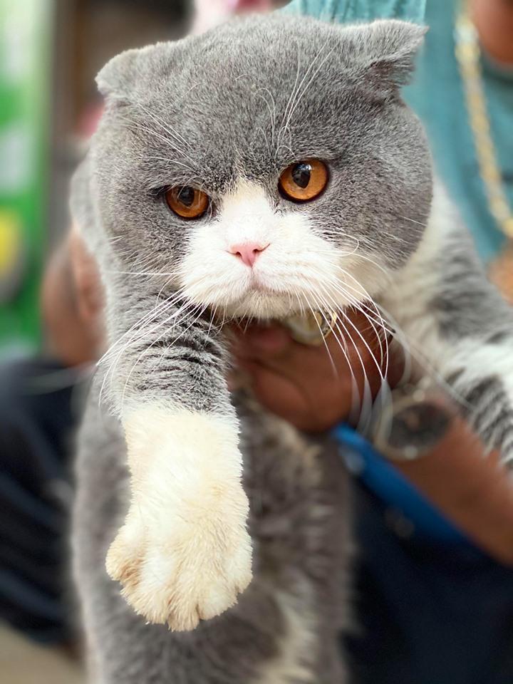 Công ty mua bán mèo Bicorlor tốt