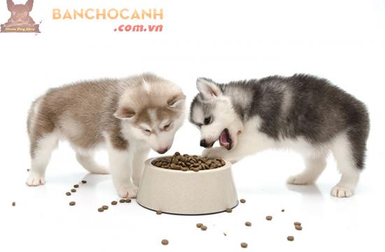 Chó Alaska ăn gì ?