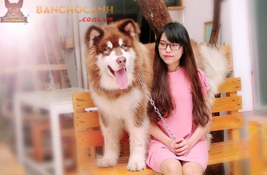 Chó Alaska thuần chủng có gì đặc biệt