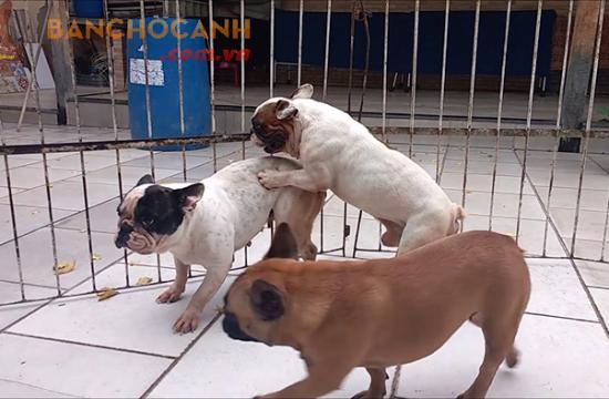 Dịch vụ phối giống chó các loại tại Hà Nội