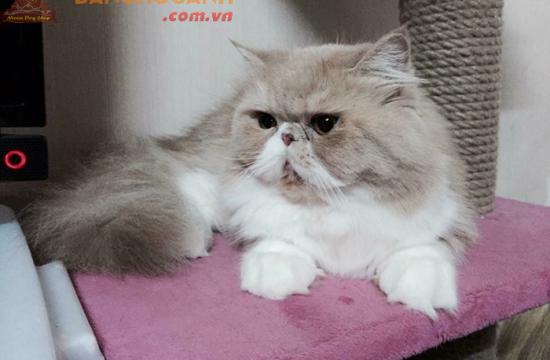 Dịch vụ phối giống Mèo Ba Tư uy tín nhất