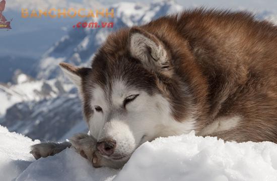 Công ty bán chó Alaska giá rẻ