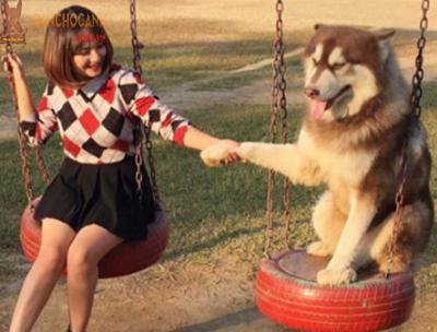 Cách huấn luyện chó Alaska