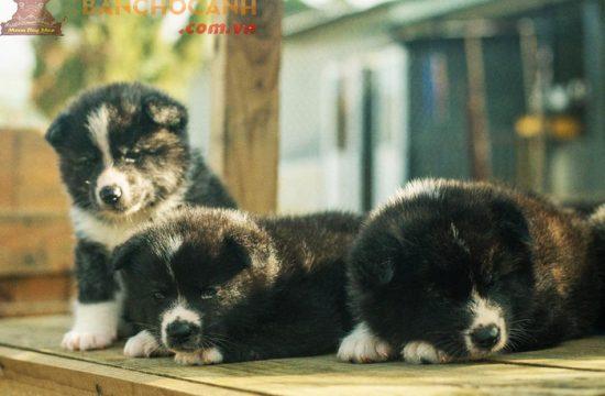 Công ty bán chó Alaska giá rẻ tại Hà Nội
