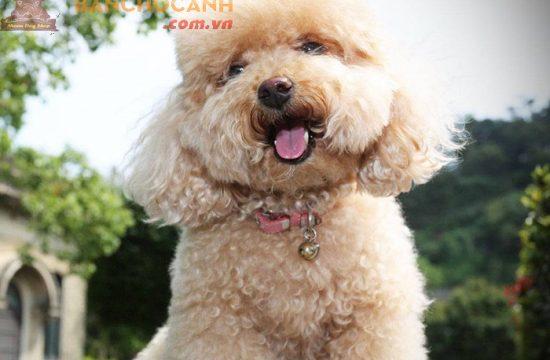 Kinh nghiệm mua chó Poodle Online