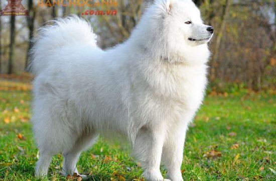 Chó Alaska bông tốt nhất Hà Nội