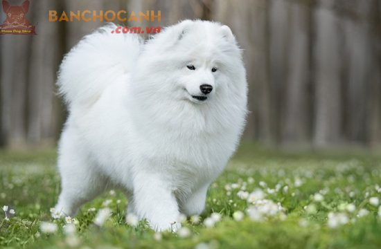 Chó bông Alaska mua ở đâu tốt