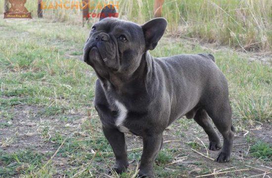 Tiêu chí lựa chọn chó Bull Pháp